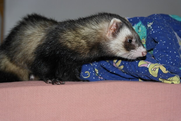 Friendlyferretsmell