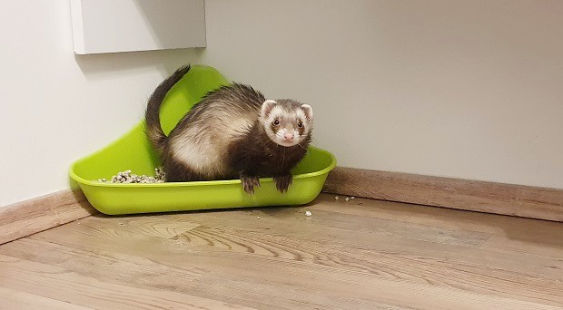 ferret potty training