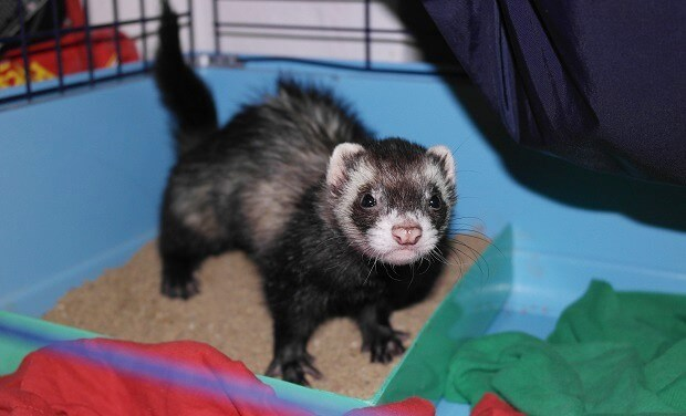 how to potty train a ferret