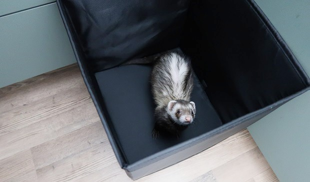 ferret training time out method