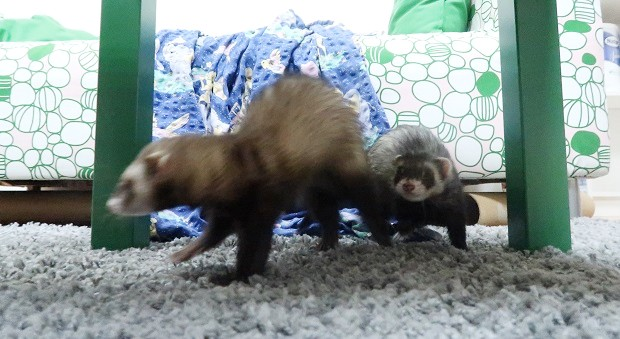 introducing two ferrets
