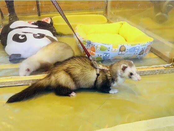 milk toe ferret