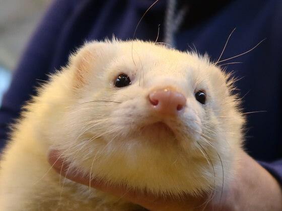 pink ferret nose