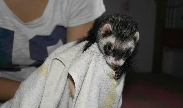 ferret flea bath