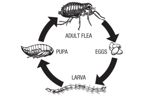 ferret flea life cycle