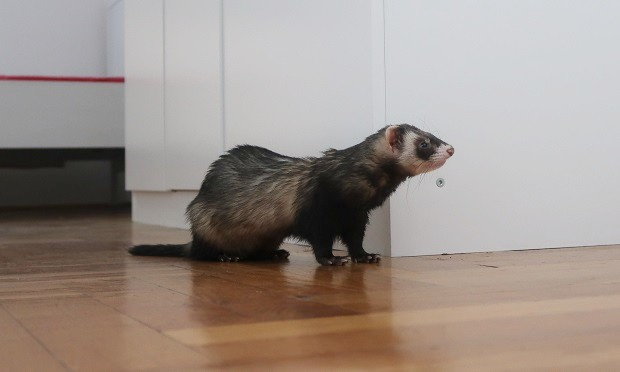 fix your ferret to reduce ferret smell
