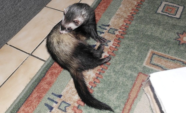 itching ferrets and fleas