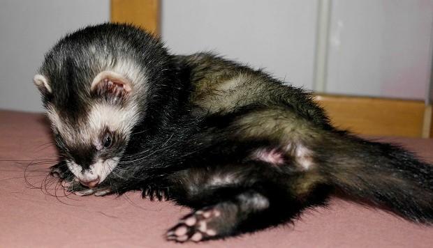 my ferret has fleas