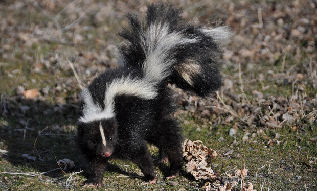 skunk smell bombs