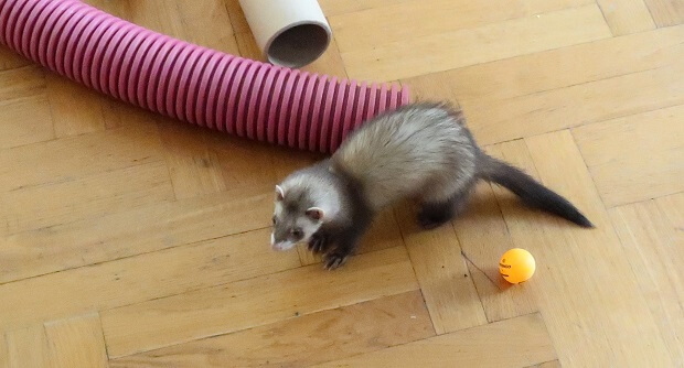 young ferret smell