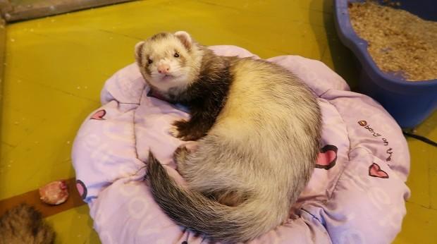 adult ferret