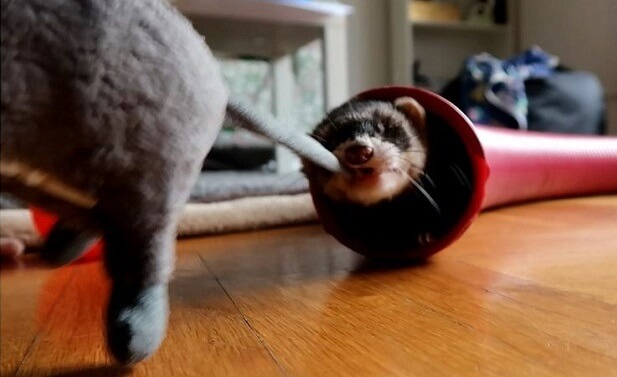 do ferrets bite