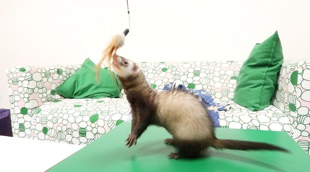 How To Get A Ferret To Sleep