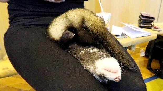 a ferret dead sleep