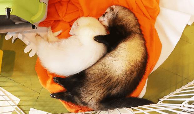 ferret body type