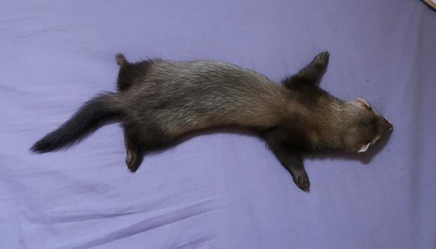 why do ferrets sleep so much