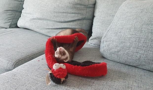 yoda ferret sleeping