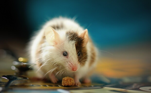 ferret and mouse