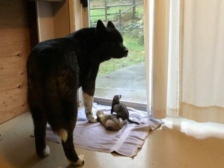 ferrets and akita dog
