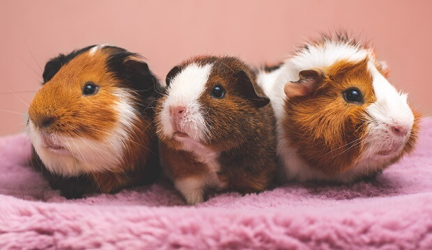 ferrets and guinea pigs