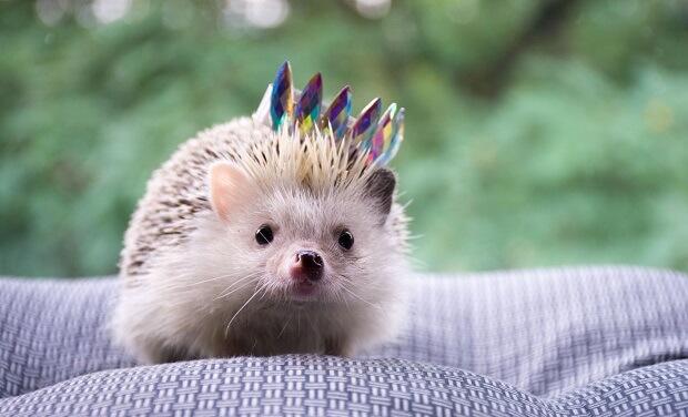 hedgehog and ferret