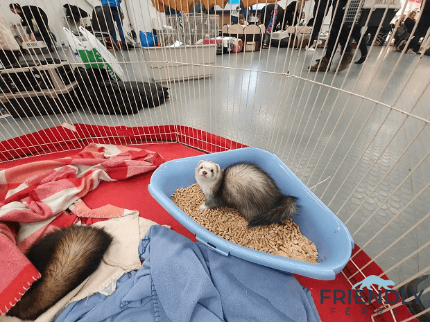 2020 Ferret Winter Wonderland In Tallinn 17