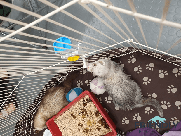 2020 Ferret Winter Wonderland In Tallinn 3