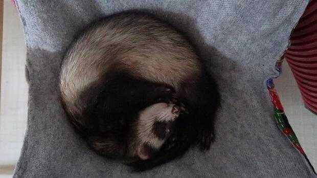 2-ferrets-sleep-e1486378157523