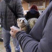 1st-International-Ferret-Show-In-Celje-Ferret