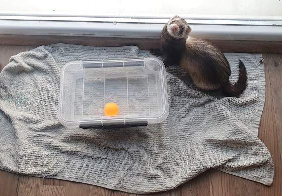 A Small Pool To Cool Ferrets