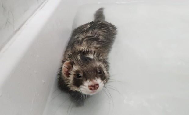 Bathe A Ferret