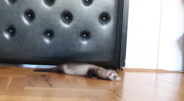 Ferret Is Lying Flat On The Floor