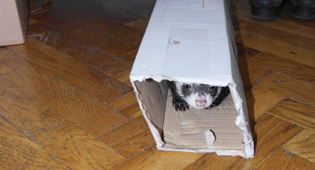 Provide A Safe Place For A Ferret