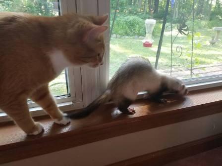 cat and ferret