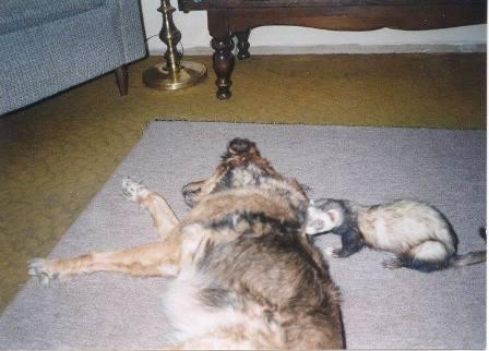 dog and ferret