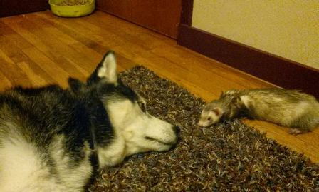 dog ferret sleep