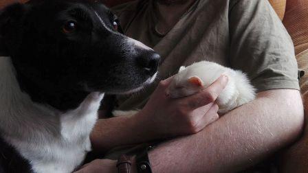 ferret and dog