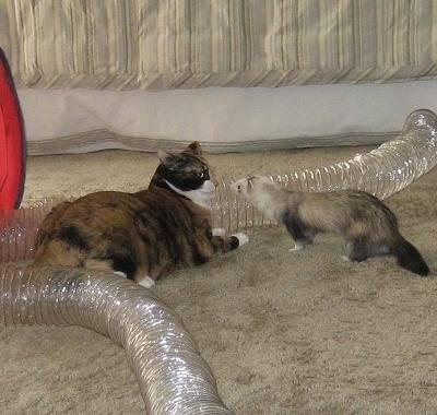 ferret cat