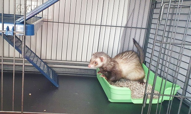ferret litter box