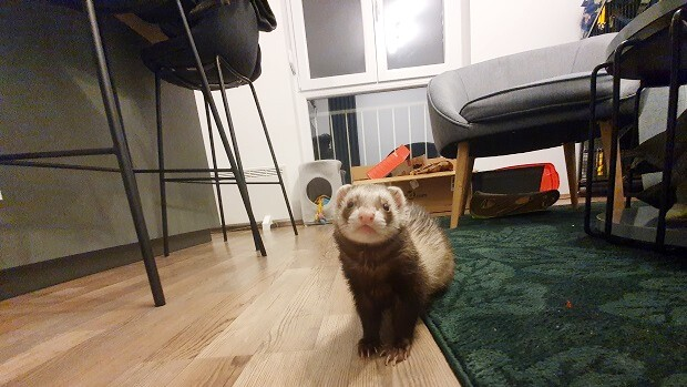 ferret proofing