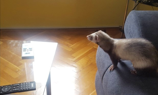 moving furniture for ferret proofing