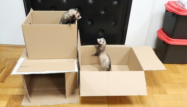Cardboard Boxes As Ferret Toys