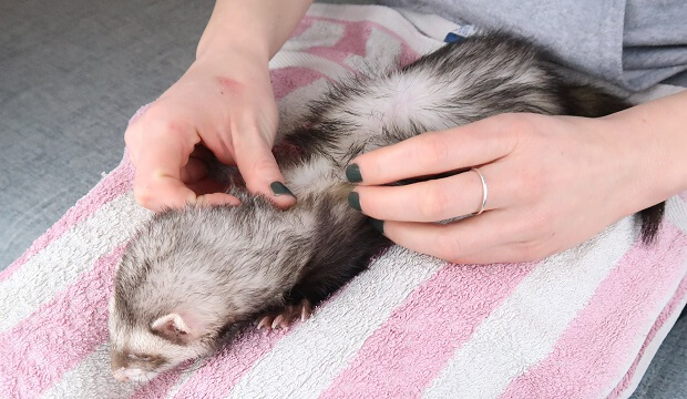 Check Your Ferret For Fleas