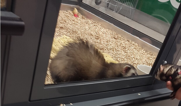 Ferrets Are Held In Glass Cages