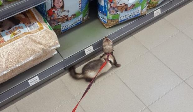 Ferrets Don't Run Around Pet Store
