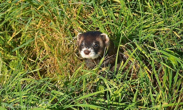 How Much Does It Cost To Buy A Ferret From Breeders