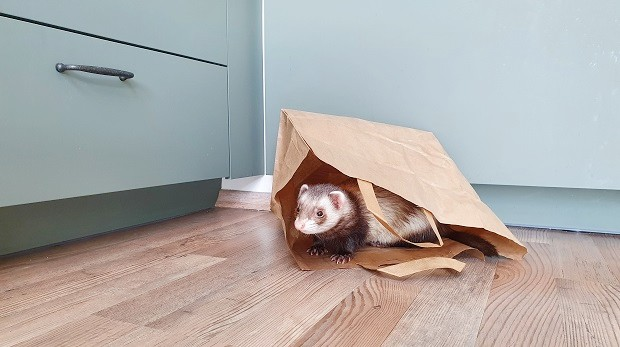 Plastic And Paper Bags As Ferret Toys