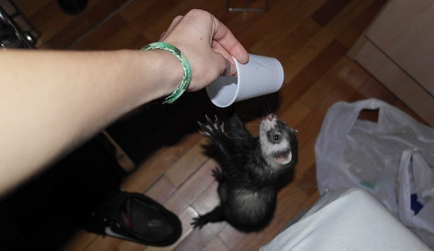 Plastic Disposable Cups As Ferret Toys