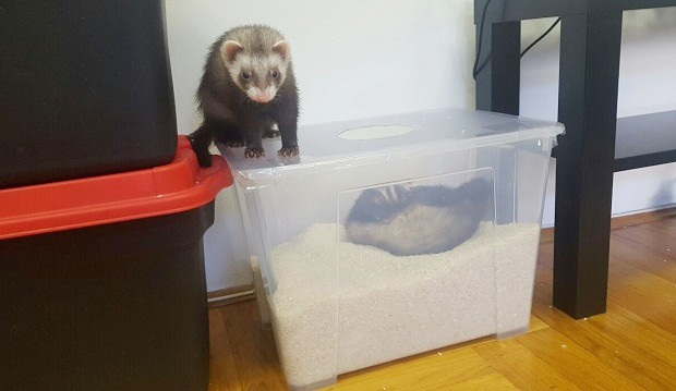 Rice Filled Container As Ferret Toy