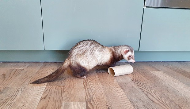 Toilet Paper Roll As Ferret Toy